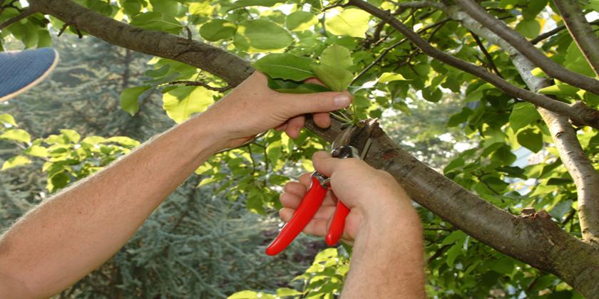 Corso potatura alberi da frutto comune di rignano flaminio for Potatura alberi da frutto